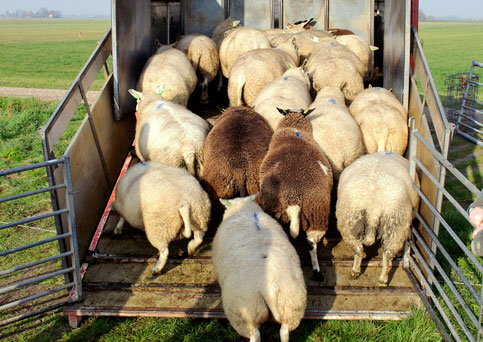 sheep loading into truck